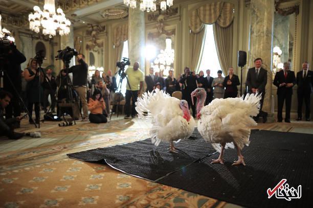 تصاویر : بوقلمون های که قرار است مورد بخشش ترامپ قرار بگیرند